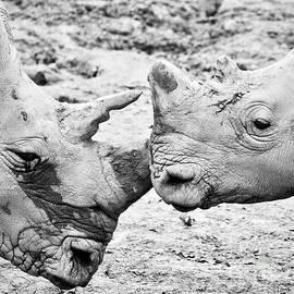 Rachel Morrison - White Rhinos Embrace