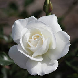 White Rose 3 by Tania Read