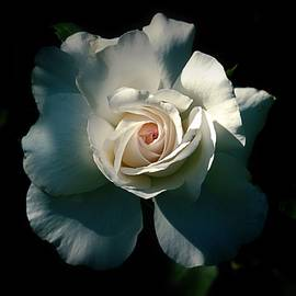 White Rose In The Shadows by Patricia Strand