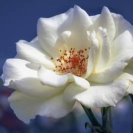 Tim Abeln - White rose on a blue background