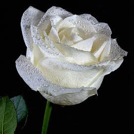 Lowell Monke - White Rose on Black 2