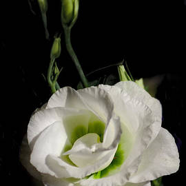 White Rose On Black by Jeremy Hayden