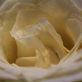 Todd Dunham - White Rose