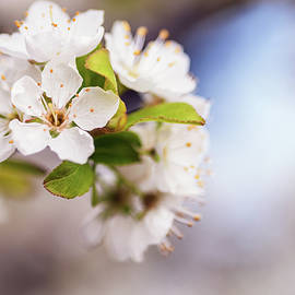 Vishwanath Bhat - White Spring flowers with shallow DOF