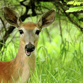 White - Tailed Deer Close Up by Debbie Oppermann