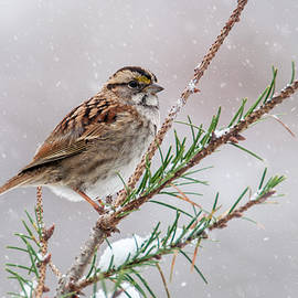 Cathy Kovarik - White Throated Sparrow