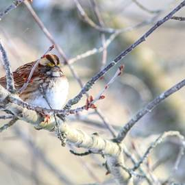 Carol Montoya - White-Throated Sparrow In Winter