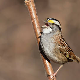 Mircea Costina Photography - White-throated sparrow