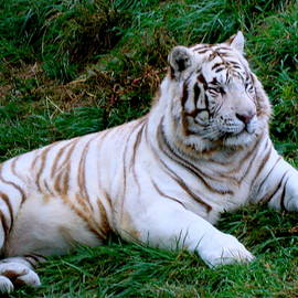 White Tiger by Arlane Crump