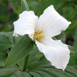 Jean Hall - White Trillium