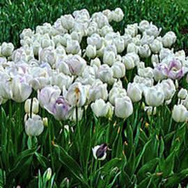 White Tulip Panorama by Kaye Menner