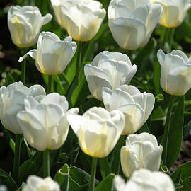 David Berg - White Tulips 4