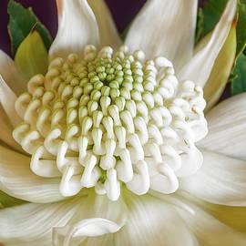 White Waratah by Daniela Constantinescu