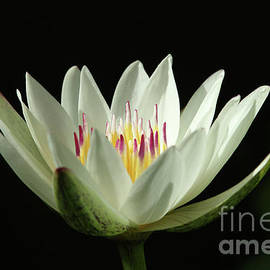 Judy Whitton - White Water Lily