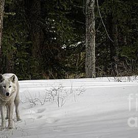 Brad Allen Fine Art - White Wolf