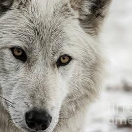 Brad Allen Fine Art - White Wolf II