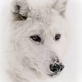 Athena Mckinzie - White Wolf Portrait V