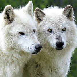 Steve McKinzie - White Wolves
