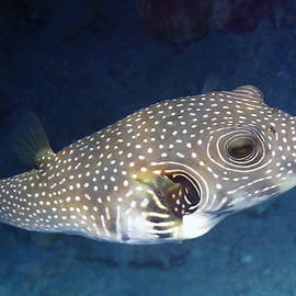 Whitespotted Pufferfish Closeup by Johanna Hurmerinta