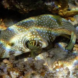 Whitespotted Pufferfish by Johanna Hurmerinta