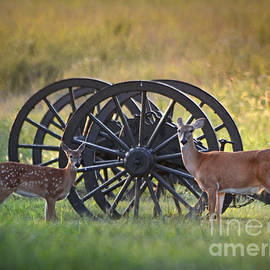 Whitetail Deer At Battlefield by Nava Thompson