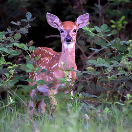 Brian Wallace - Whitetail Fawn