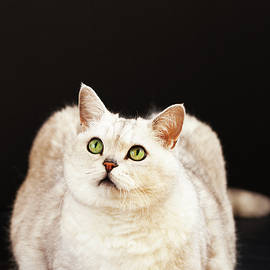 Svetlana Iso - Bright cat on dark background