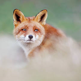 Roeselien Raimond - Who...? Moi? - red Fox looking over its shoulder