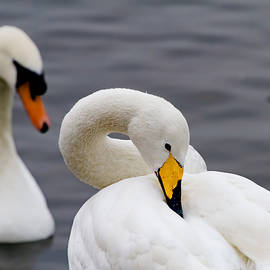 Mr Bennett Kent - Whooper and Mute Swans