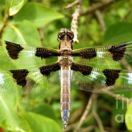Widow Skimmer  Dragonfly        Summer     Indiana by Rory Cubel