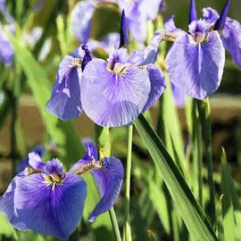 Wild Alaskan Irises IIi by Penny Lisowski