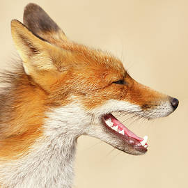 Roeselien Raimond - Wild and Free - Fox Portrait