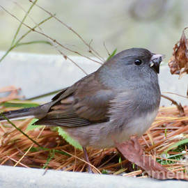 Wild Birds - Dark-eyed Junco by Kerri Farley