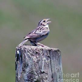 Kerri Farley - Wild Birds - Grasshopper Sparrow