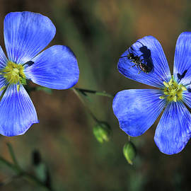 Wild Blue Flax by Donna Kennedy