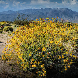 Randall Nyhof - Wild Desert Flowers Blooming