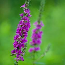 Wild Flower by Jasmin Hrnjic