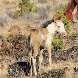 Rod Giffels - Wild Mustang Foal