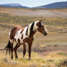 Nadja Rider - Wild Mustang Stallion Picasso of Sand Wash Basin