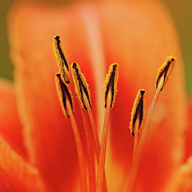 Debbie Oppermann - Wild Orange Lily