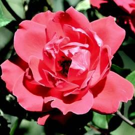 Eileen Brymer - Wild Rose