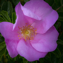 Wild Rose by Garvin Hunter