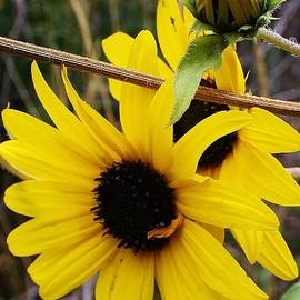 Bruce Bley - Wild Sunflowers of the Canyon