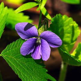 Scott S Emberley - Wild Wood Violet