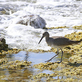 Willet Hunting by Shoal Hollingsworth