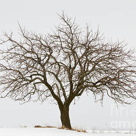 Winter Apple Tree by Alan L Graham