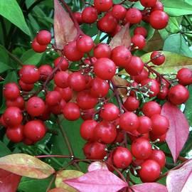 Jennifer Wheatley Wolf - Winter Berries