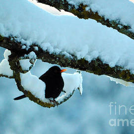 Winter Bird In Snow - Winter In Switzerland by Susanne Van Hulst