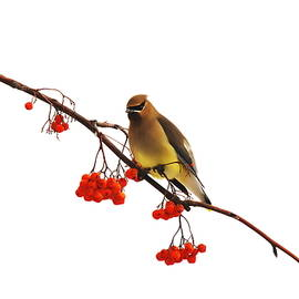 Andrea Kollo - Winter Birds - Waxwing