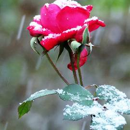 Last Rose of the Season by Carol McGrath